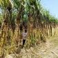 ভোলায় আখের ভাল ফলন, দাম কম হওয়ায় বিপাকে কৃষকরা।। লালমোহন বিডিনিউজ